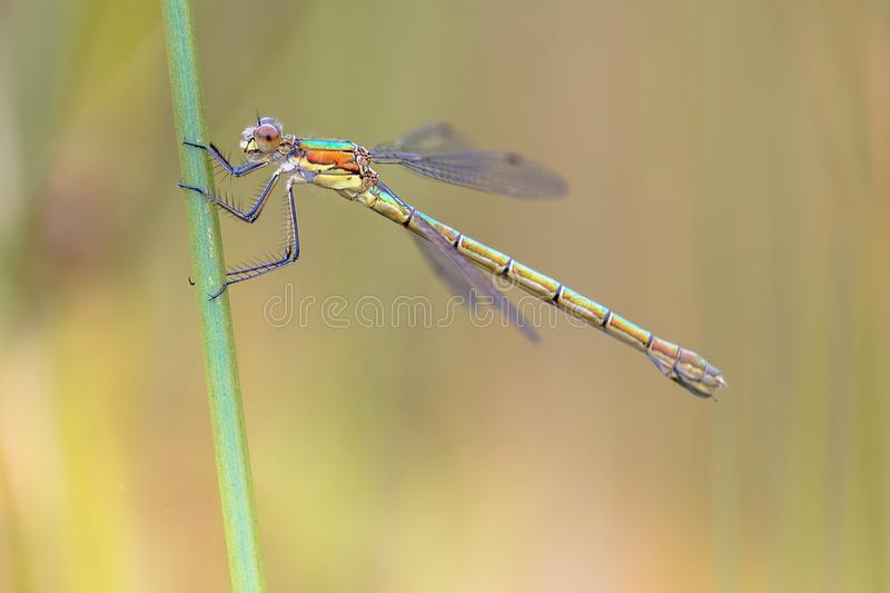 Female Willow emerald damselfly royalty free stock image