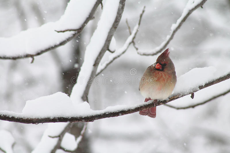Female Winter Cardinal. Female Cardinal in the snow, sitting on a branch watching something royalty free stock image