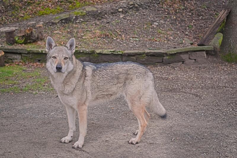 Female wolf dog full body portrait with eyes with an intense gaze lookin straight to the camera. Adomesticated big grey female wolf head portarit looking away to royalty free stock photography