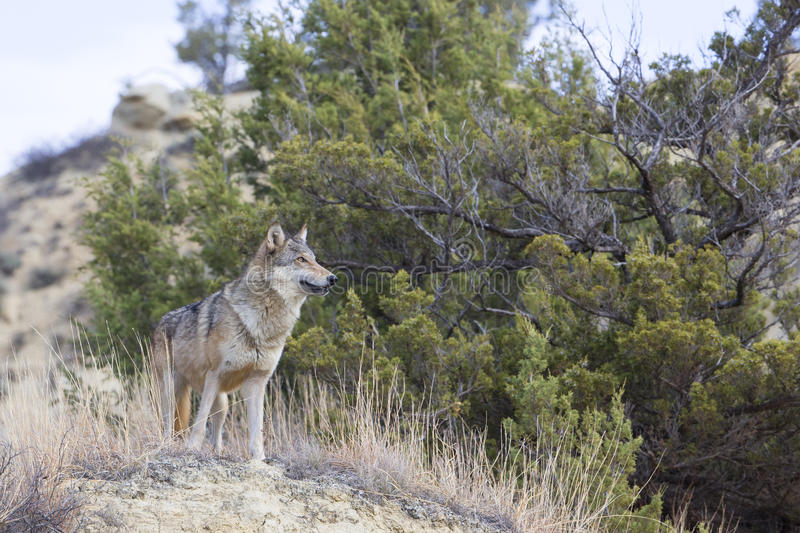 Female wolf looking over landscape. Female wolf looking onward for food royalty free stock image