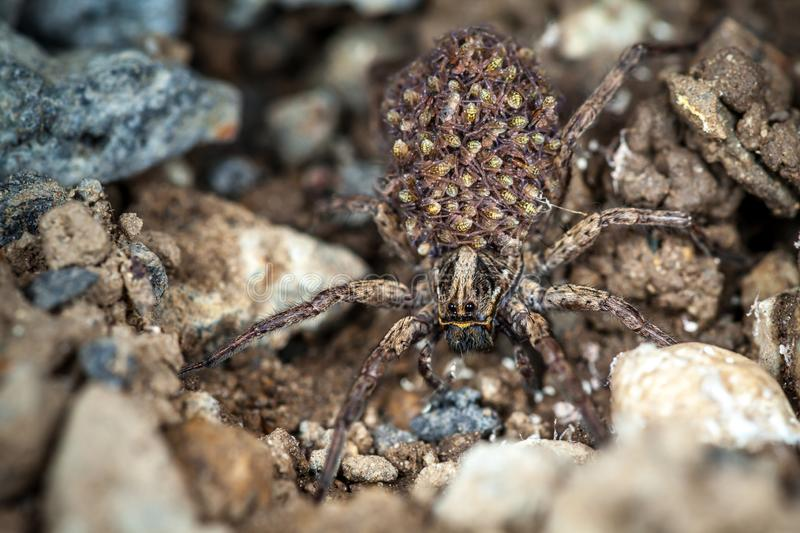 Female Wolf Spider With Babies stock photos