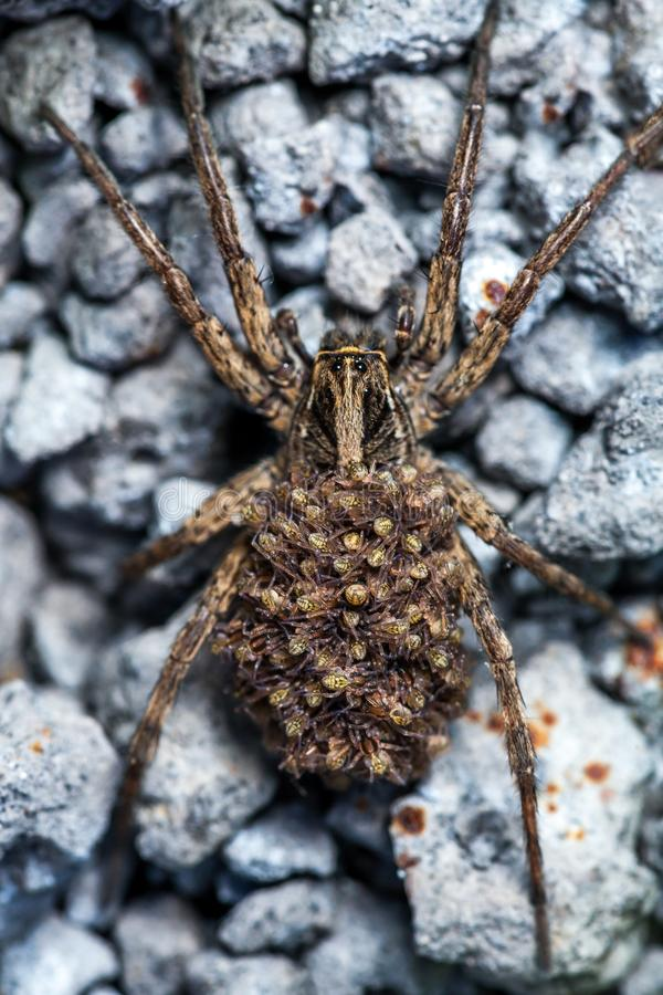 Female Wolf Spider With Babies stock images