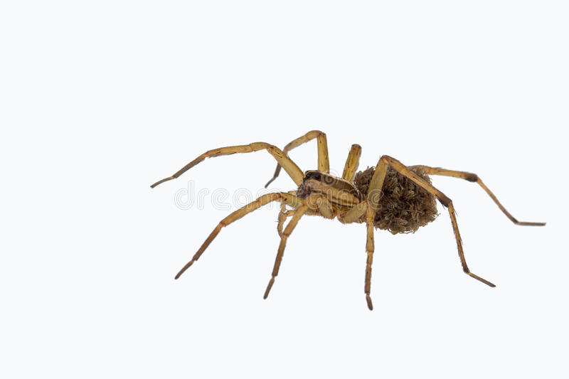 Female wolf spider carrying young stock image