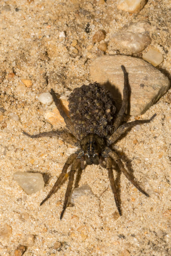 Female Wolf Spider stock photography