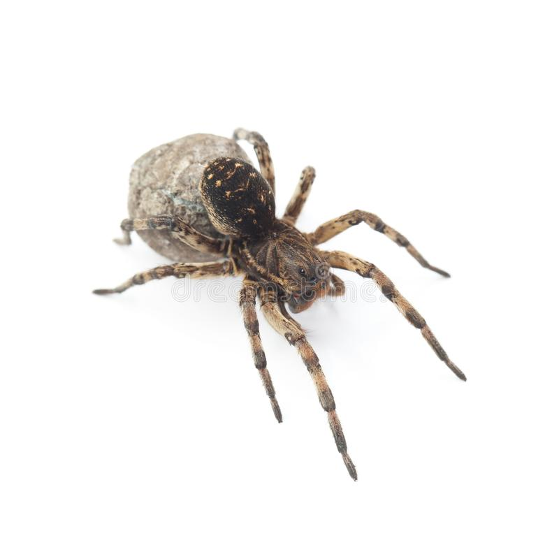 Female of wolf spider with cocoon isolated on white. Background stock images