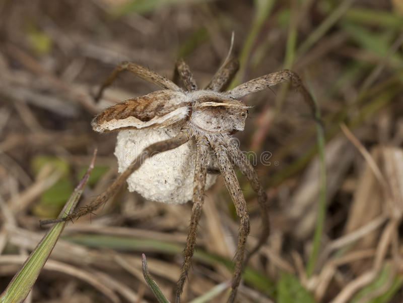 Female Wolf Spider With Eggs Stock Images