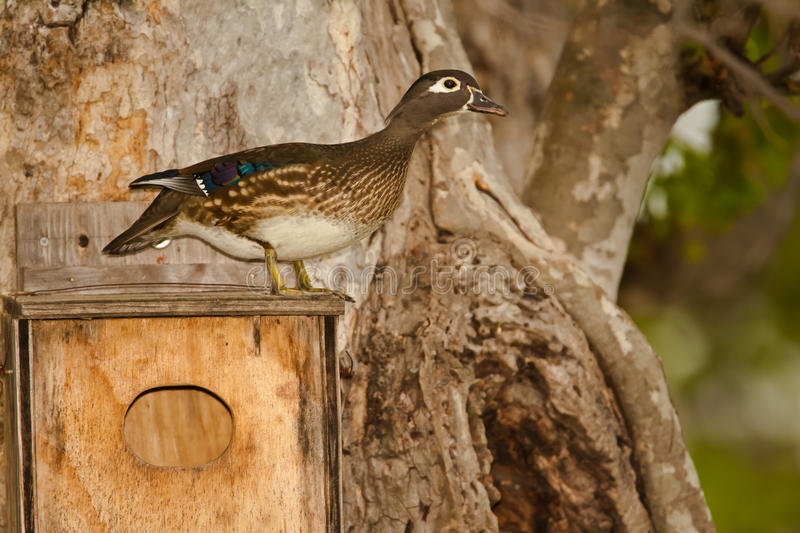 Female Wood Duck. Standing on Nest Box Attached to Sycamore Tree stock images