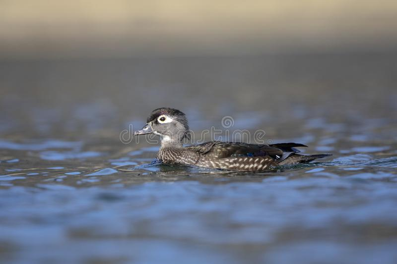 Female Wood Duck floating in a pond royalty free stock photography