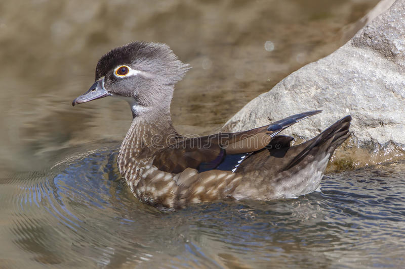 Female Wood Duck royalty free stock photos