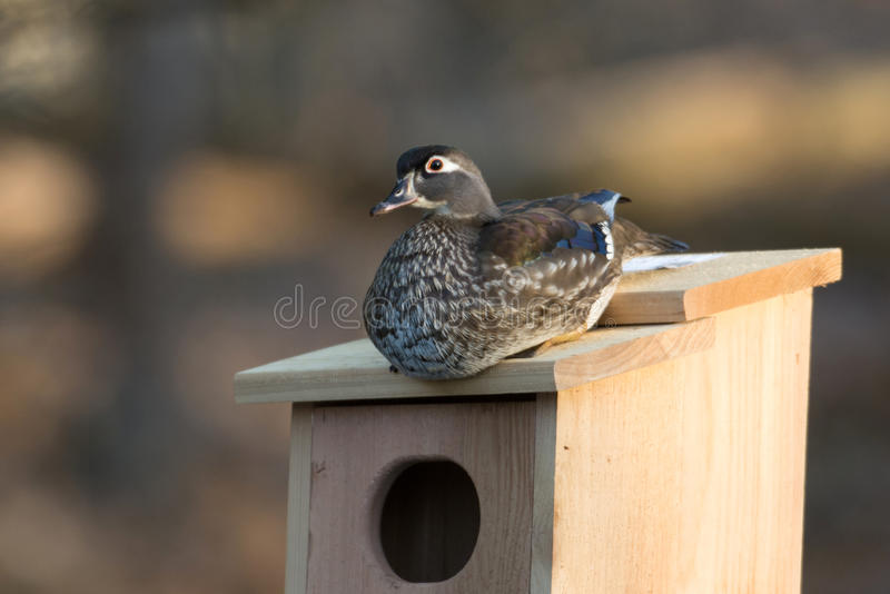 Female wood duck in nest box stock photo image of pond wilderness download female wood duck in nest box stock photo image of pond wilderness publicscrutiny Choice Image