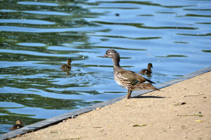 A female wood duck watching over her ducklings. Female wood duck Aix sponsa with ducklings in the background in Spring also known as Carolina duck stock photos