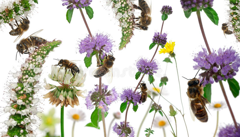 Download Female Worker Bees Composition Stock Photo - Image of indoors, flowers: 21403476