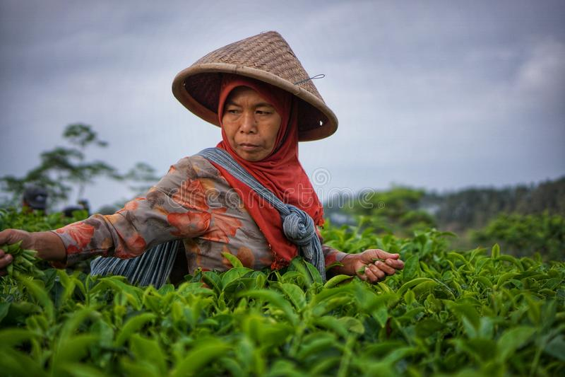 Female worker picking tea leaves on Tea Plantation stock photography