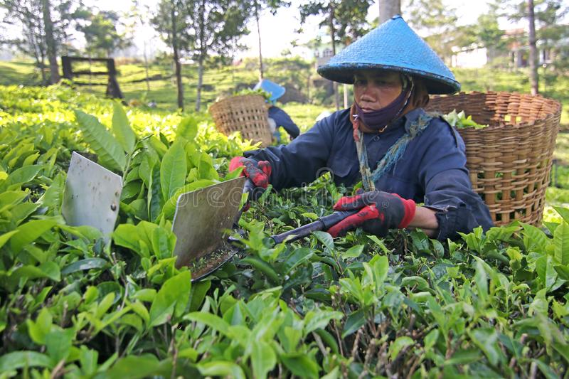 A female worker is picking tea with scoop scissor royalty free stock image