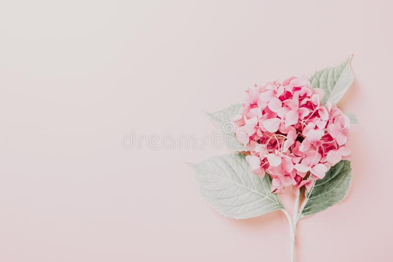Female workspace with laptop, pink hydrangea, golden accessories, pink diary on pink background stock images