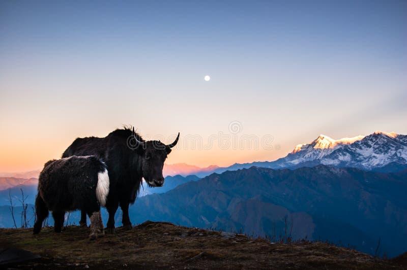 Female yak and her young, sunrise on Kopra Ridge, Nepal stock images