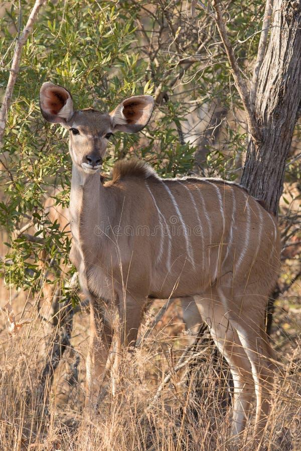 Female young kudu cow in wild African bush. On morning safari royalty free stock image
