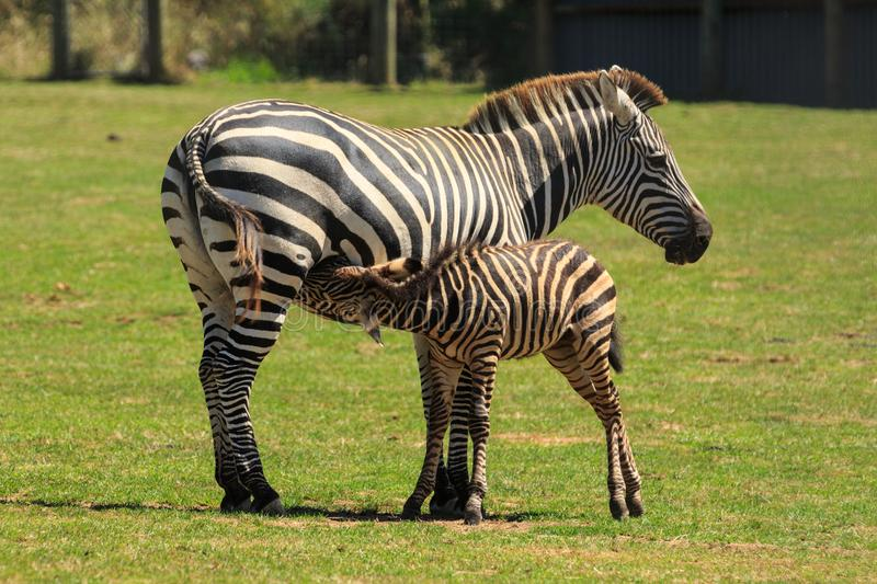 A female zebra and her foal. A young zebra foal suckles from its mother in a fenced paddock stock images