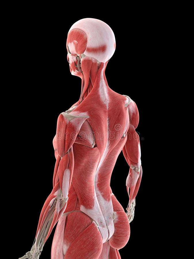 A females back muscles. 3d rendered medically accurate illustration of a females back muscles stock illustration