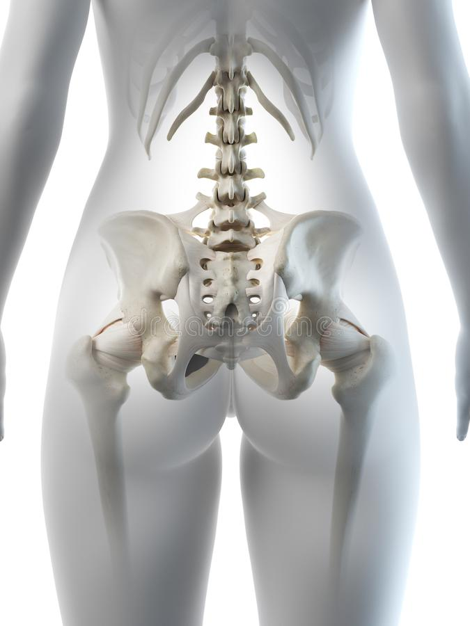 A females hip bone. 3d rendered medically accurate illustration of a females hip bone royalty free illustration
