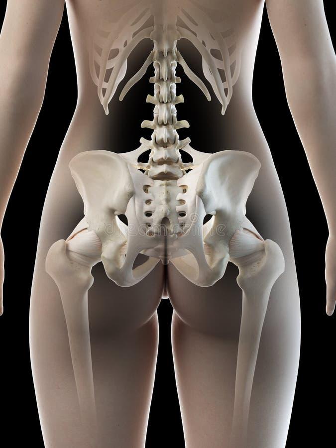 A females hip bone. 3d rendered medically accurate illustration of a females hip bone stock illustration