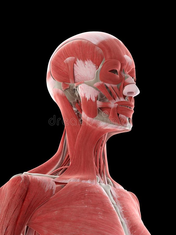 A females neck muscles. 3d rendered medically accurate illustration of a females neck muscles vector illustration