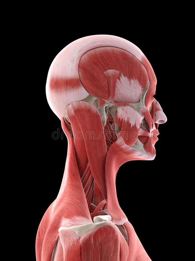 A females neck muscles. 3d rendered medically accurate illustration of a females neck muscles royalty free illustration
