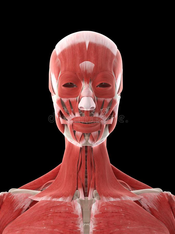 A females neck muscles. 3d rendered medically accurate illustration of a females neck muscles stock illustration