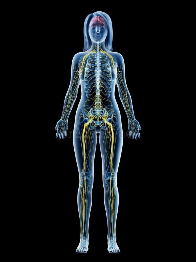 A females nervous system. 3d rendered medically accurate illustration of a females nervous system vector illustration