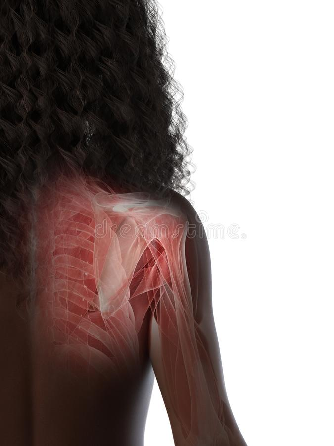 A females shoulder muscles. 3d rendered medically accurate illustration of a females shoulder muscles vector illustration