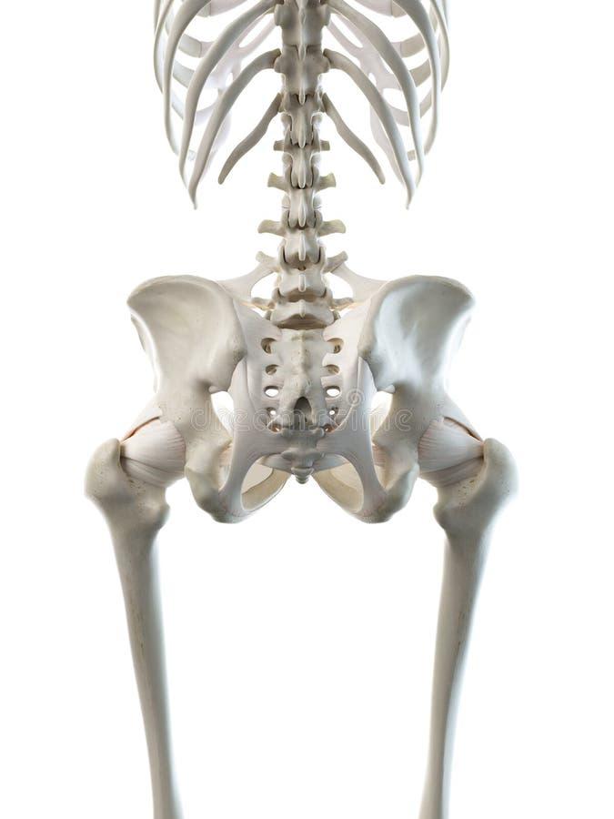 A females skeletal hip. 3d rendered medically accurate illustration of a females skeletal hip royalty free illustration