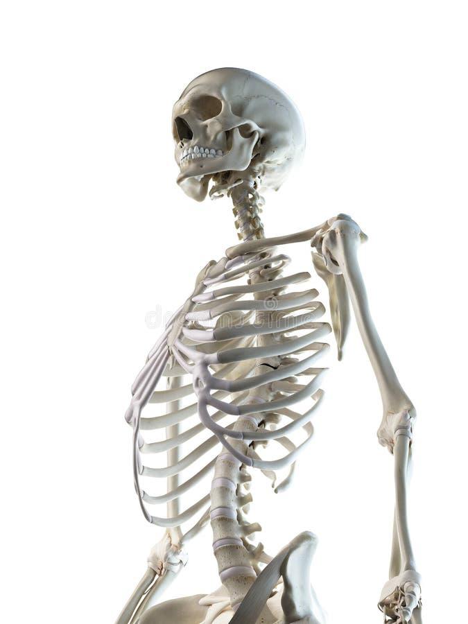 A females skeletal thorax. 3d rendered medically accurate illustration of a females skeletal thorax vector illustration
