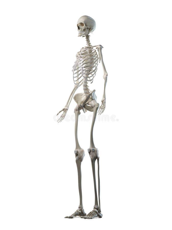 A females skeleton system. 3d rendered medically accurate illustration of a females skeleton system royalty free illustration
