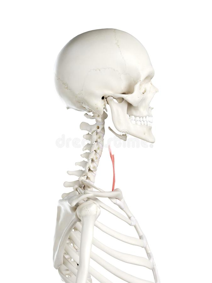 A females sternohyoid royalty free illustration