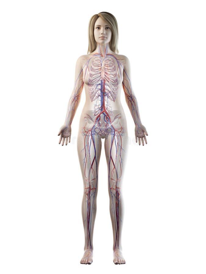 A females vascular system. 3d rendered medically accurate illustration of a females vascular system royalty free illustration