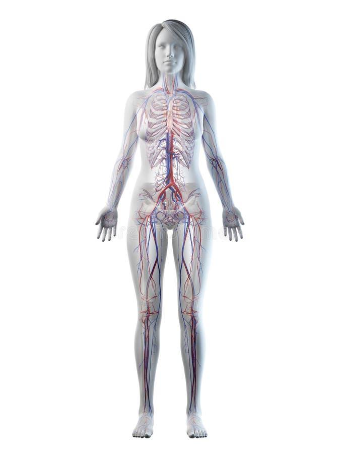 A females vascular system. 3d rendered medically accurate illustration of a females vascular system vector illustration