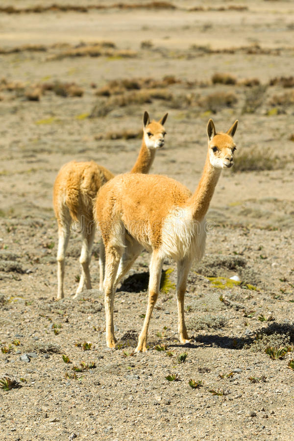Females Wild Vicuna Animal stock photography