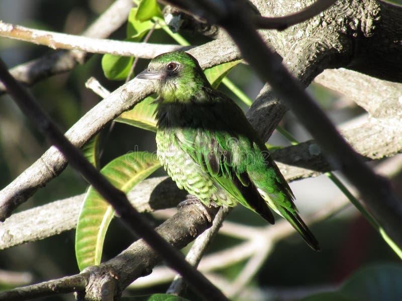 Femea de Saà Andorinha - femelle de Tanager d'hirondelle photos libres de droits