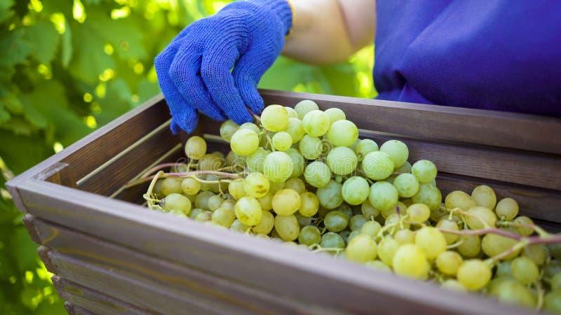 Femelle caucasienne dans le tablier bleu et les gants de jardinage moissonnant des raisins dans le vignoble photographie stock