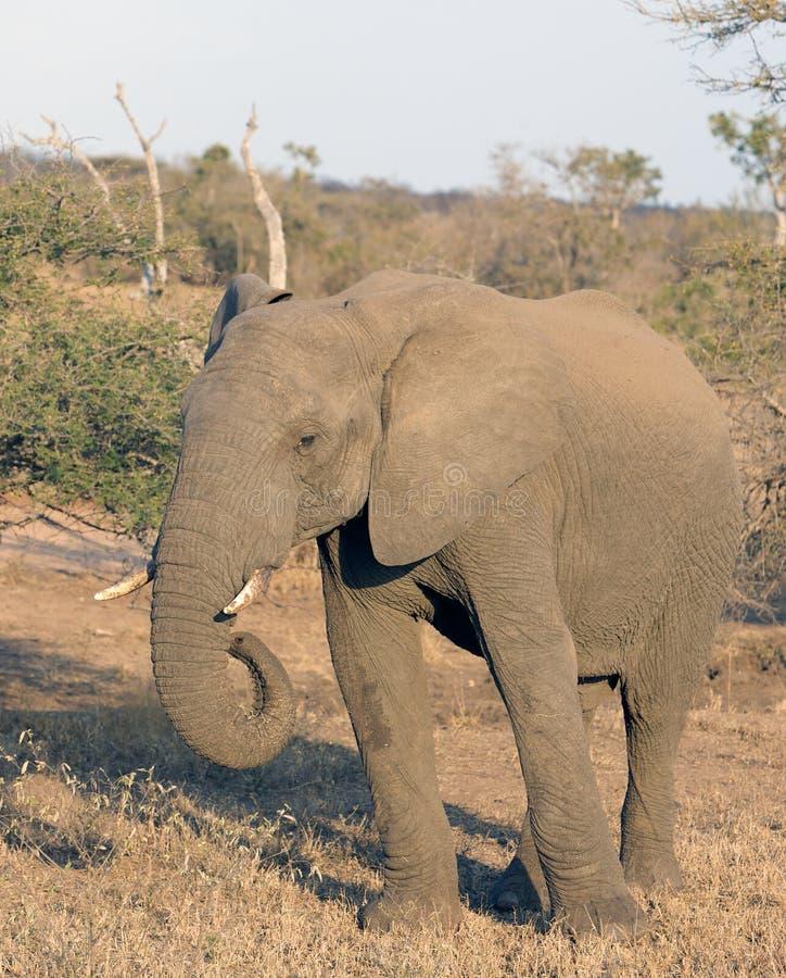femelle d'éléphant photo libre de droits