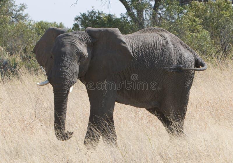 femelle d'éléphant africain grande photographie stock
