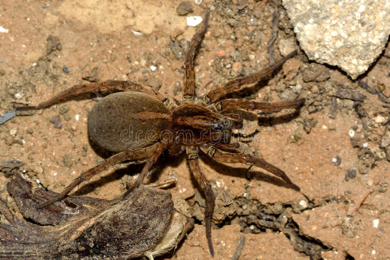Femelle d'araignée de loup de ruricola de Trochosa d'en haut photos libres de droits