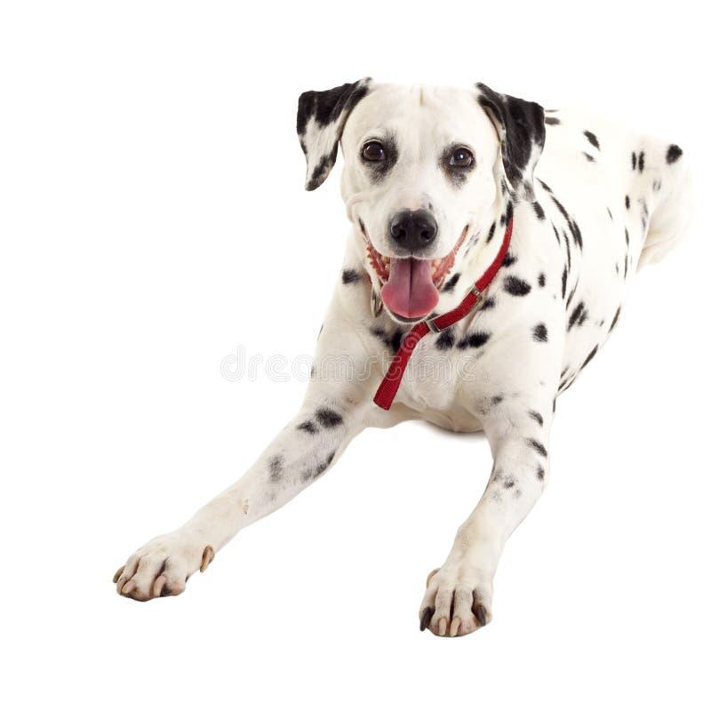 Femelle dalmatienne enfoncée photographie stock