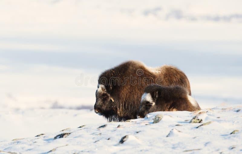 Femelle de boeuf de musc avec un veau se tenant dans la neige image libre de droits