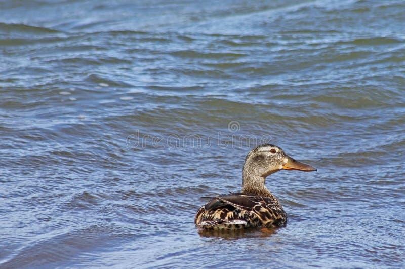 Femelle de canard de Mallard recherchant comme elle seul nage sur un grand lac bleu image libre de droits