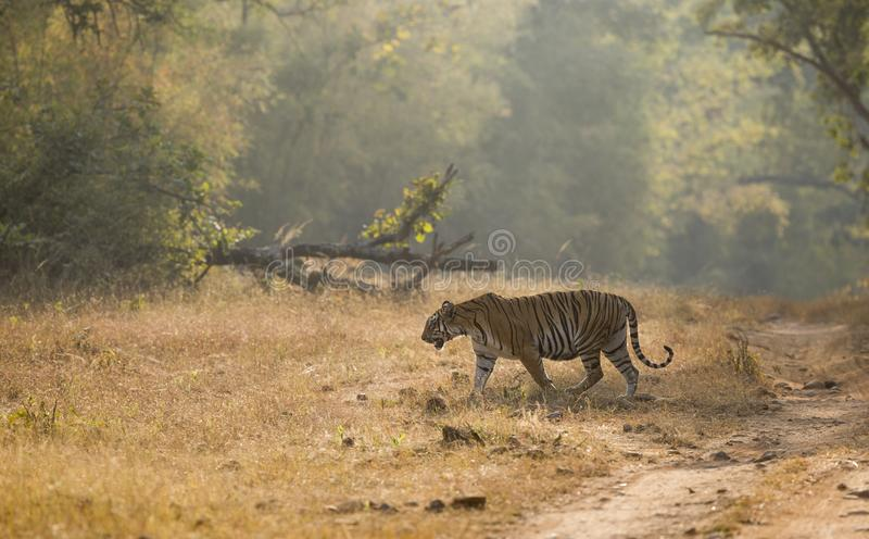 Femelle de Kuwhani de zone de Kolsa traversant la route dans la lumière égalisante chez Tadoba Andhari Tiger Reserve, Chandrapur, image stock