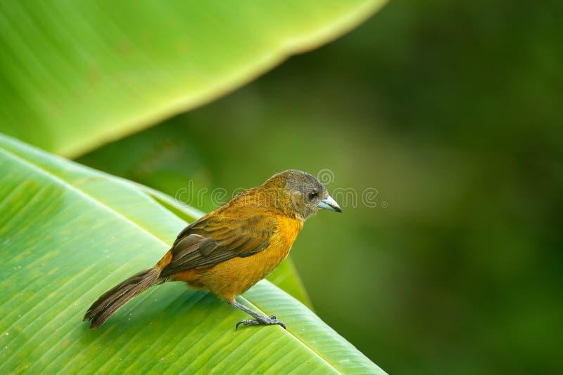 Femelle de passerinii de Tanager, de Ramphocelus d'écarlate-rumped, d'oiseau rouge et noir tropical exotique de Costa Rica, dans  photos stock