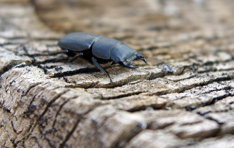 Femelle de scarabée de mâle photographie stock libre de droits