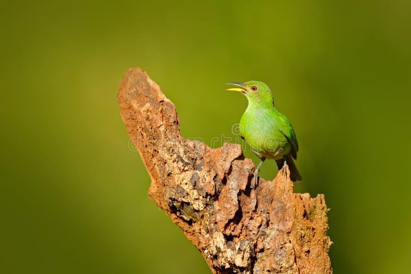 Femelle de spiza vert de Honeycreeper, de Chlorophanes, de forme verte et bleue Costa Rica de malachite tropicale exotique d'oise photographie stock libre de droits