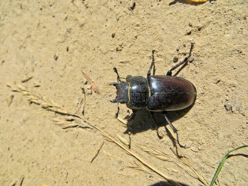 Femelle du scarabée de mâle et du x28 communs ; Cervus& x29 de Lucanus ; photographie stock libre de droits